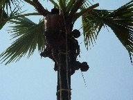 Picking of coconuts from a palm tree